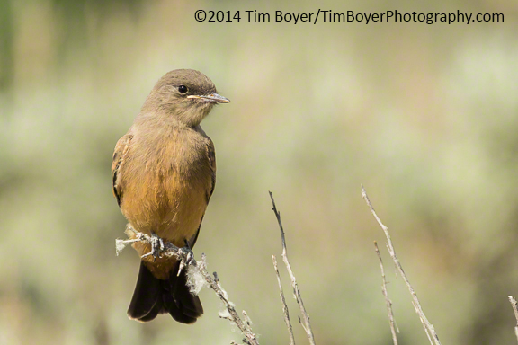 Say's Phoebe at Soap Lake State Park.
