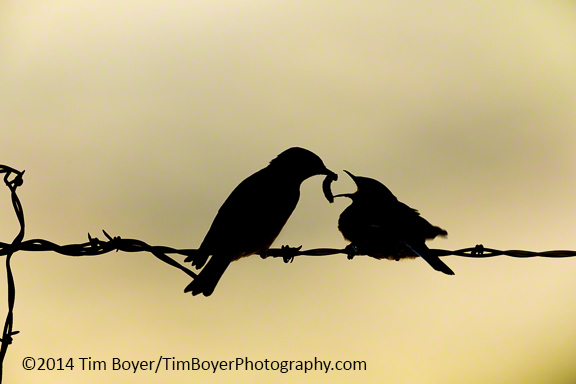 Silhouette of a pair of Western Bluebirds.