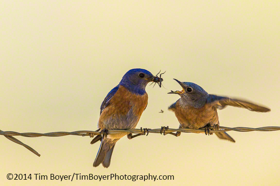 Male Western Bluebird feeding the female.