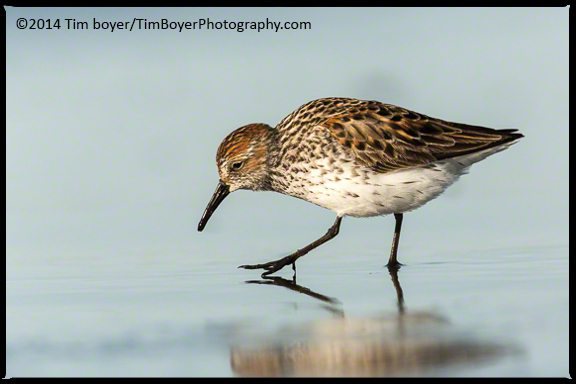 Western Sandpiper searchiing for food.