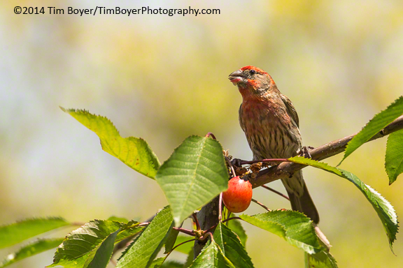 House Finch in the cherry tree, backyard, Renton, WA