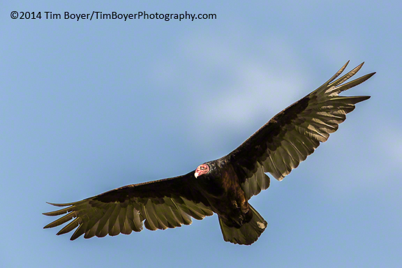 Turksy Vulture soaring, Benson Lake, Malheur National Wildlife Refuge