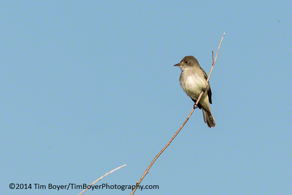 Willow Flycatcher near Benson Pond