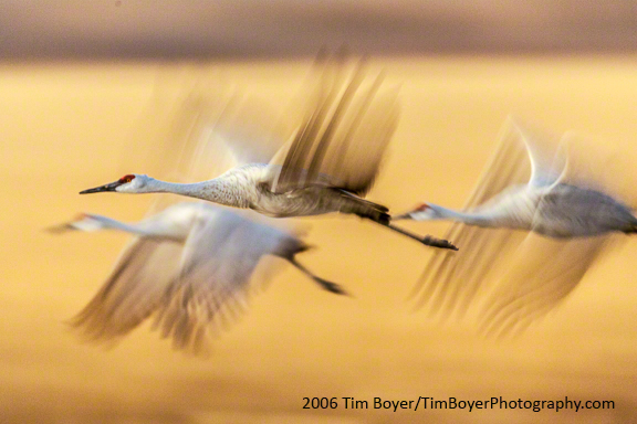 Sandhill Cranes leaving corn fields after a day of feeding, headed to ponds where they will roost for the night.