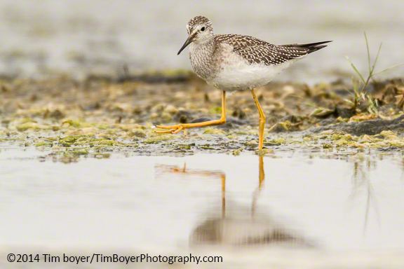 Lesser Yellowlegs at Oyehut Wildlife Area, Ocean Shores.