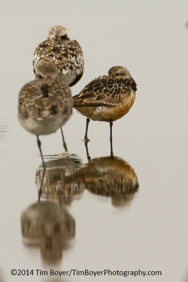 Red KNot and a couple of Black-bellied Plovers.