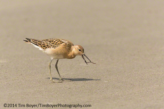 Juvenile Ruff eating marine worms on the outer coast, Ocean Shores, WA.