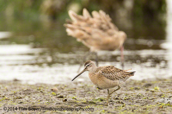 Short-billed Dowitcher, Westport, WA.
