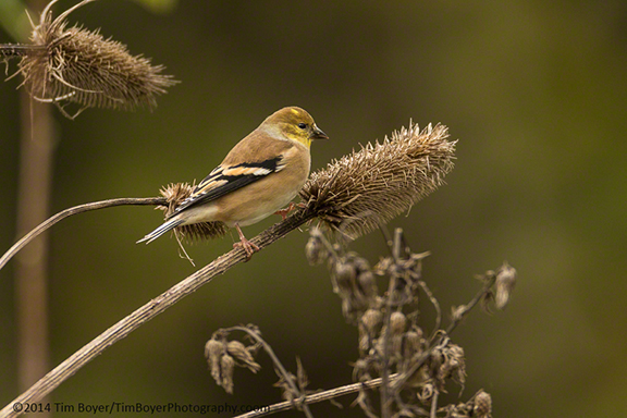 American Goldfinch on thistle at Ridgefield National Wildlife Refuge.