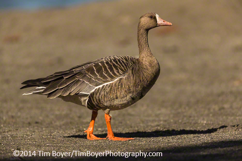 A Greater White-fronted Goose at Gene Coulon Park.