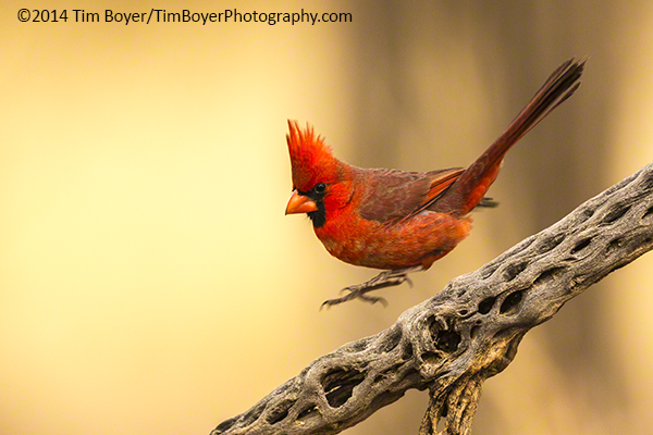 Northern Cardinal hopping down a cactus branch in Green Valley, AZ.