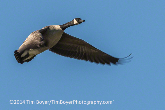Canada goose, ISO 400 at f/11 and 1/400 of a second