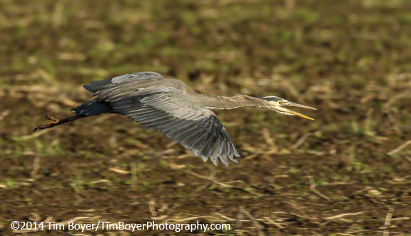 Great Bue Heron, 1/320 of a second, ISO 200, f/8, 600 mm, 1.4 Extender.