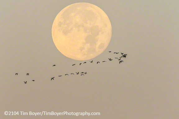 Snow Geese and full moon. 1/250 of a second, f/8, ISO 800, 600 mm lens, 1.4 Extender, Effective focal lenght 1,3444 mm.