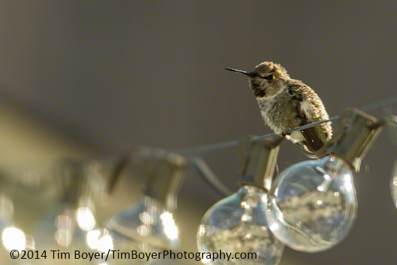 Anna's Hummingbird from the backyard in Renton
