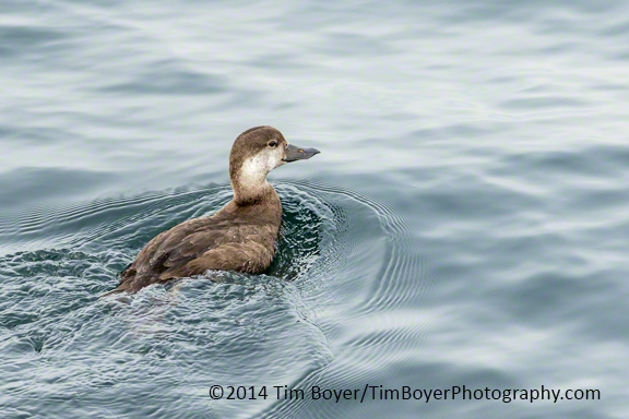 Female Black Scoter at the Edmonds Fishing Pier.