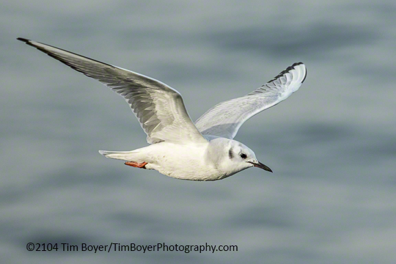 Bonaparte's Gull, Edmonds Fishing Pier