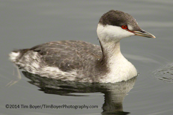 Horened Grebe at Gene Coulon Park in Renton, WA