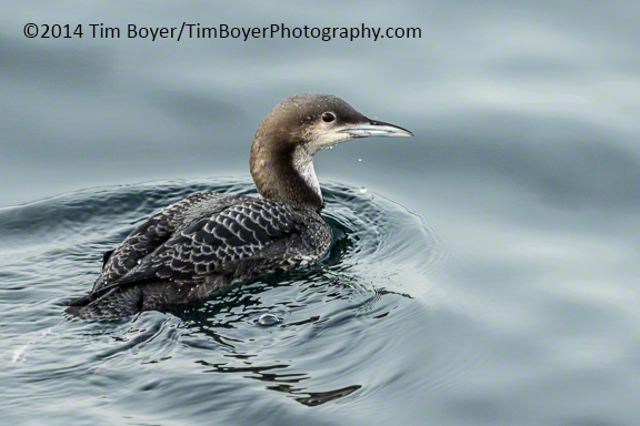 Juvenile Pacific Loon at the  Edmonds Fishing Pier.