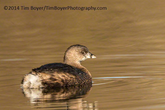 Pied-billed Grebe at the Boeing Ponds