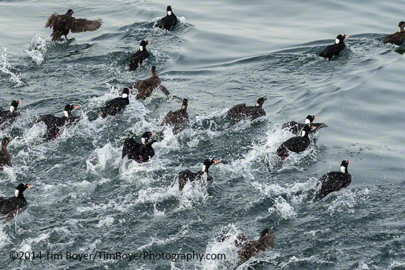 Surf Scoters below the Fishing Pier in Edmonds