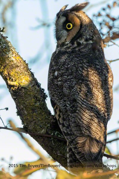 Long-eared Owl Canon EOS 7D Mark II 1/200 of a second, f/8, and ISO 320 at 400mm on the Canon 100 to 400 zoom lens.