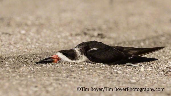 Black Skimmer resting.