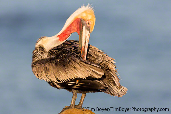 Brown Pelican in breeding plumage, preening in morning sunlight.