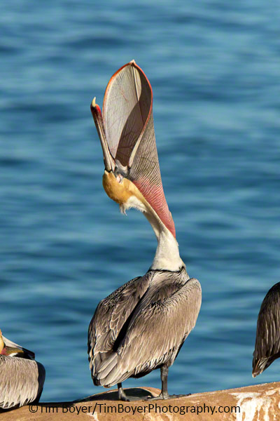 Brown Pelican head throw to stretch it's pouch or throat.