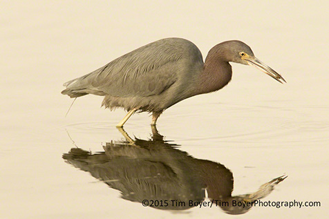 Little Blue Heron feeding.
