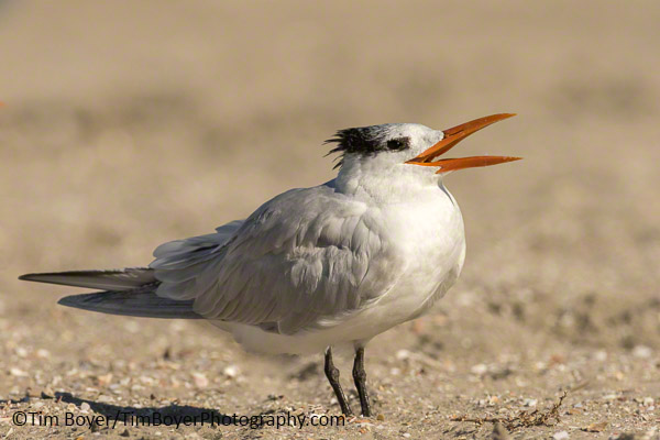 Royal Tern calling out.