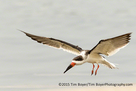 Black Skimmer coming in for a landing.