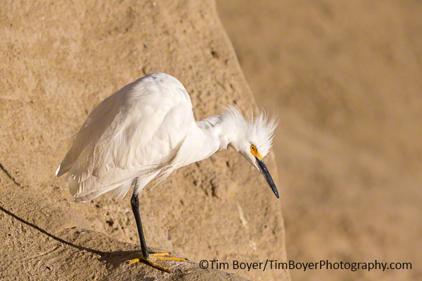 Snowy Egret on the  cliffs of La Jolla at high tide.