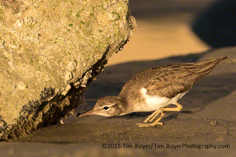 Spotted Sandpiper feeding