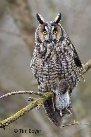 Long-eared Owl with dinner.