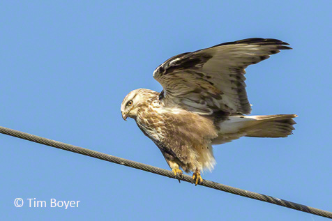 Rough-legged Hawk on a wire near the West 90 on the Samish Island Road.