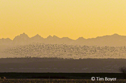 Snow Geese at sunset at Port Susan.