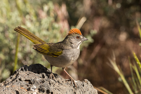 Cluttered background, bright stick coming out of the Gree-tailed Towhees head.