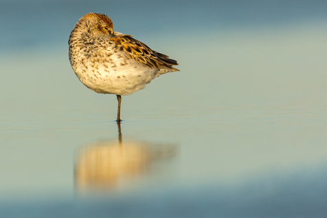 The Western Sandpiper is at the intersection of the left top crossing point of the Rule of Thirds.