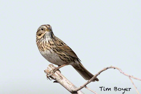Lincoln's Sparrow at teh  REfuge Headquarters was one of many sparrows we photographed.