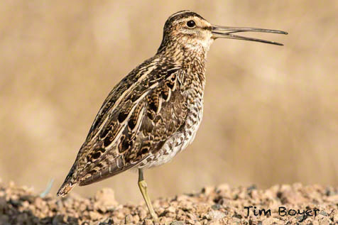 A Wilson's Snipe calling, along the road near the  town of Burns, OR.