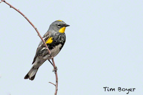 There wer Yellow-rumped Warblers all over the  place, in the  trees, bushes and  in the  sage brush.