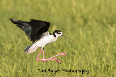 Our second stop was the County Line Ponds near Othello. This Black-necked Stilt is in the process of landing.