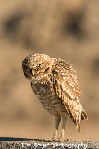 Day two started out with Burrowing Owls and I love the attitude this one is giving us.