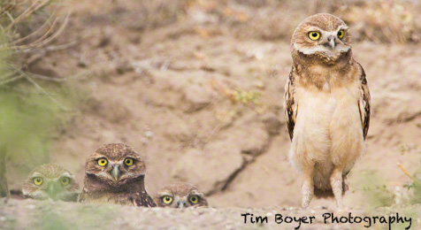 Young Burrowing Owls at teh nest.