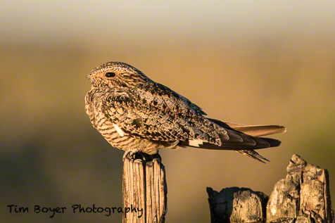 Common Nighthawk in evening light.
