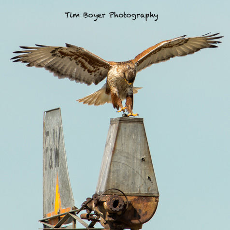 Foot placement on the bolt is important, it's the only thing that will keep the hawk on the windmill. 1/640 of a second, f/8, ISO 500, EF 600 mm lens, 1.4 Extender and the Canon EOS 7D Mark II.