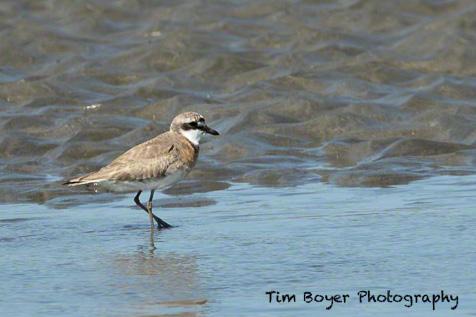 Lesser Sand Plover-8188