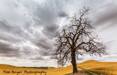 I photographed this tree last year, and wanted to come back.  I'm glad I kept good notes last year!  This year with the clouds it looks so much more dramatic.