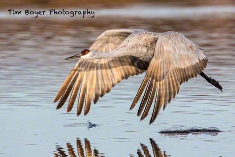 When the cranes leave the roosting ponds each morning there are some great flight photography opportunities.